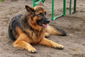 Black and Red (German Shepherd)