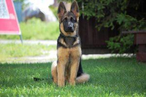 Black and Tan (German Shepherd)