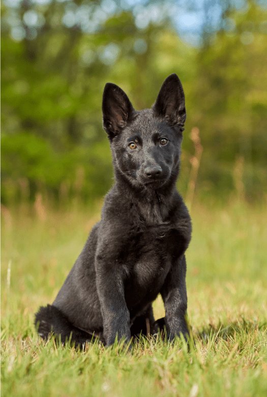 Blue German Shepherd dog