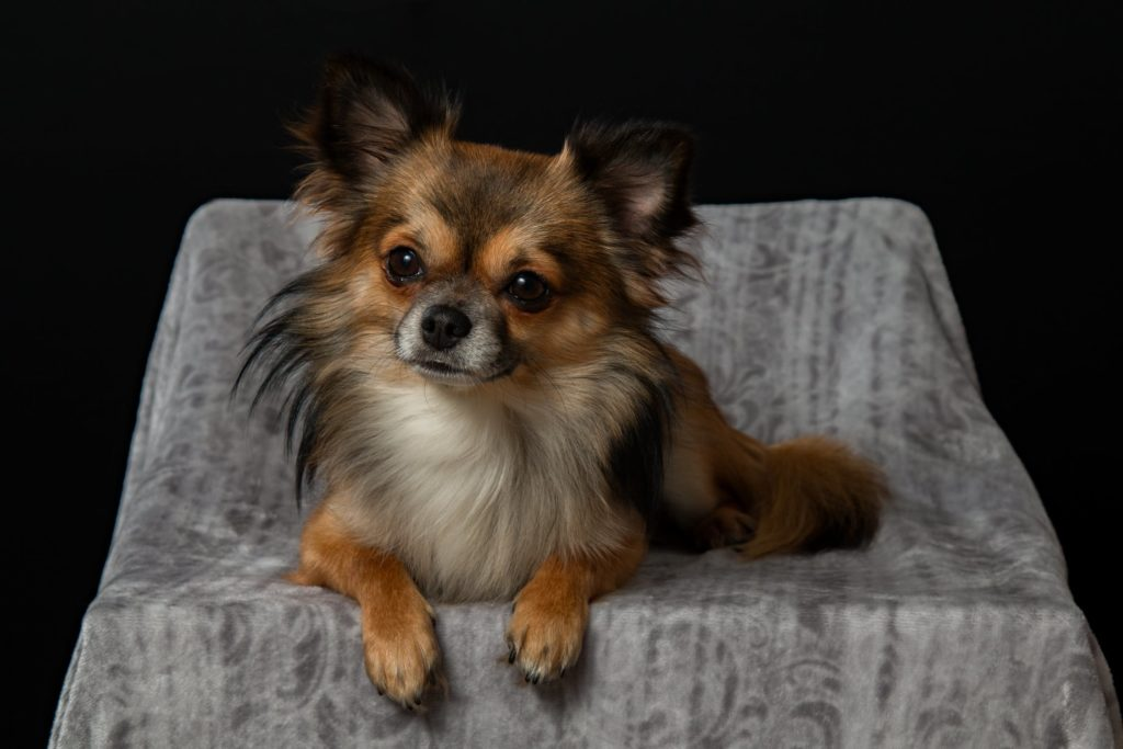 Chihuahua Mix Breeds