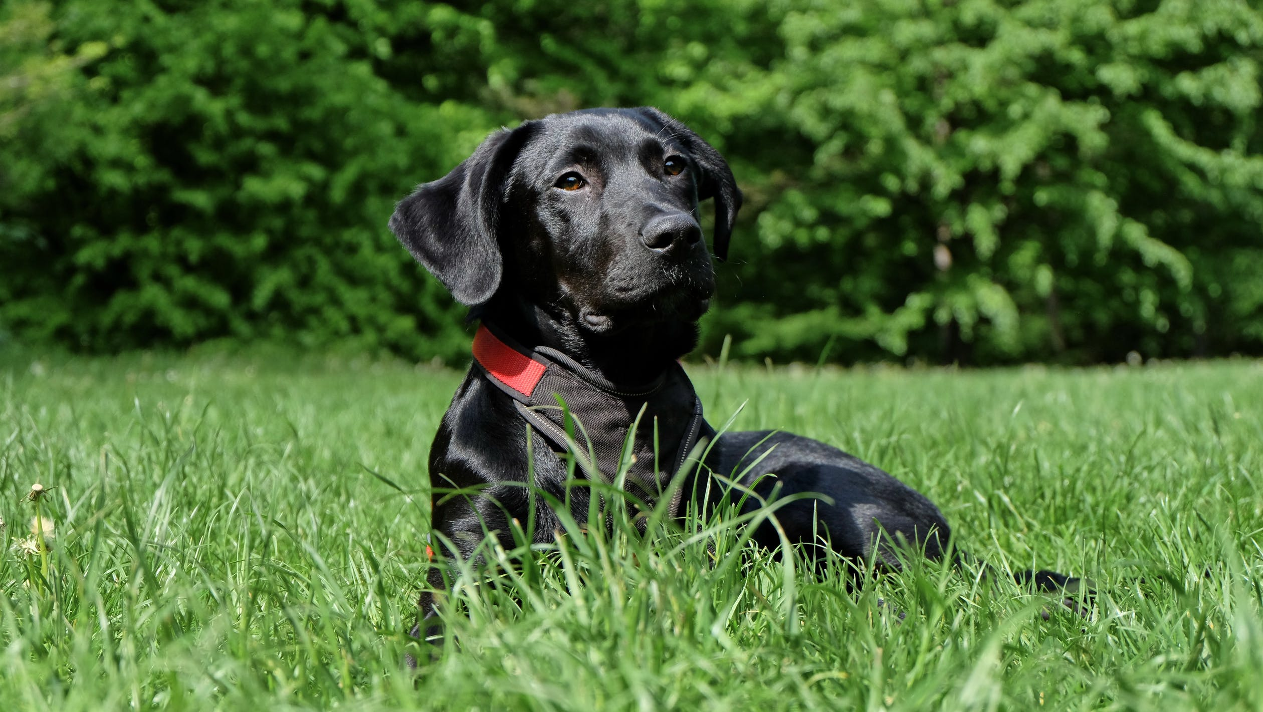 English Labrador
