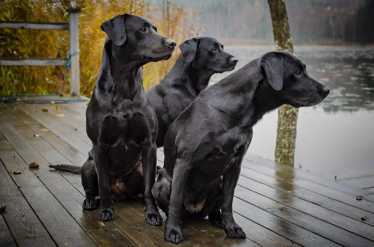 English Lab puppies