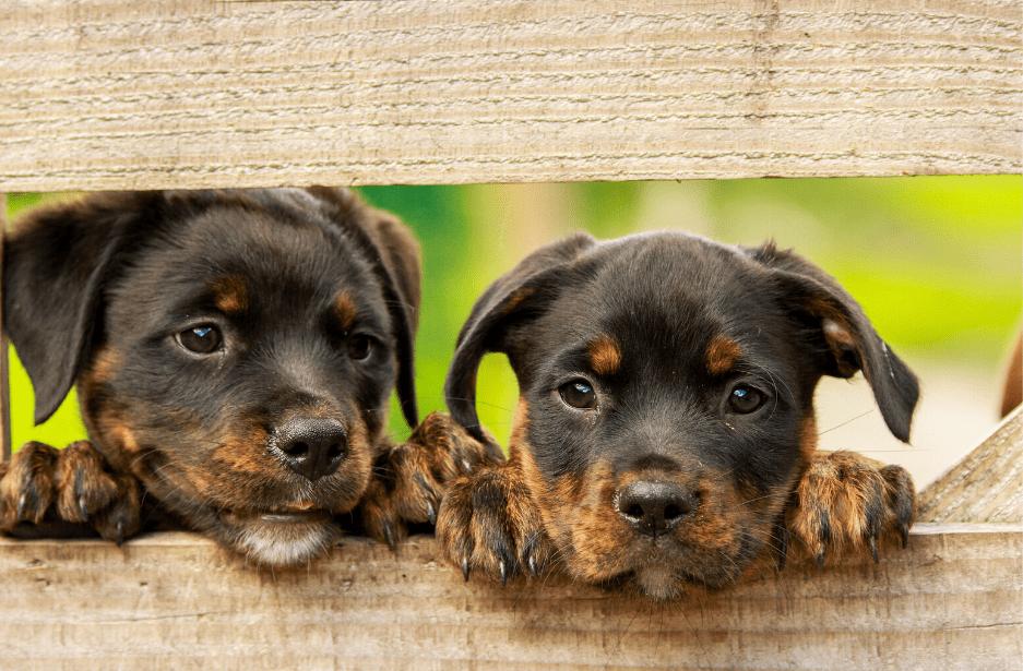 Rottweiler dogs