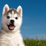 husky mix breeds