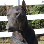 Blue Doberman Pinscher