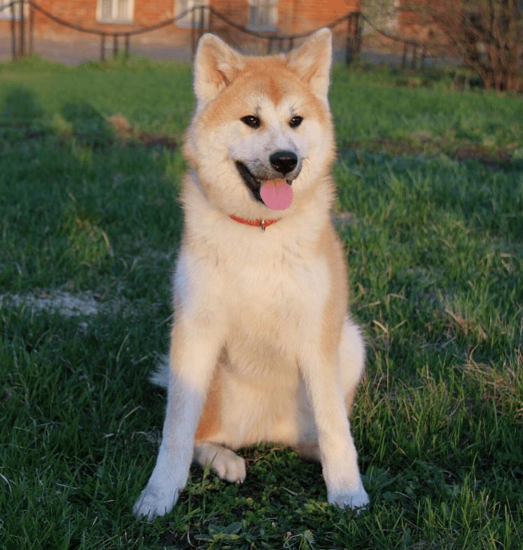 Hokkaido Dog breed