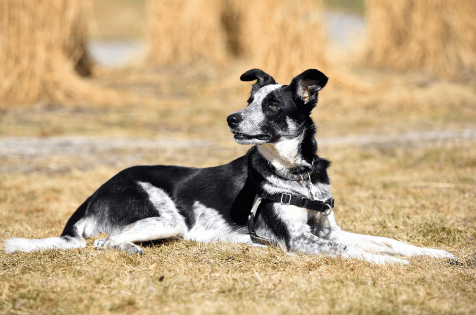 The Border Collie Blue Heeler Mix Top Facts Guide Animal Corner