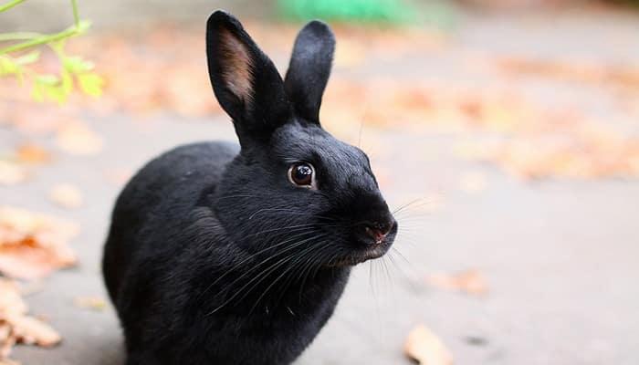 Havana Rabbit - Breed Info & Top Guide